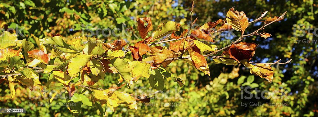 Autumn leaves - beech royalty-free stock photo