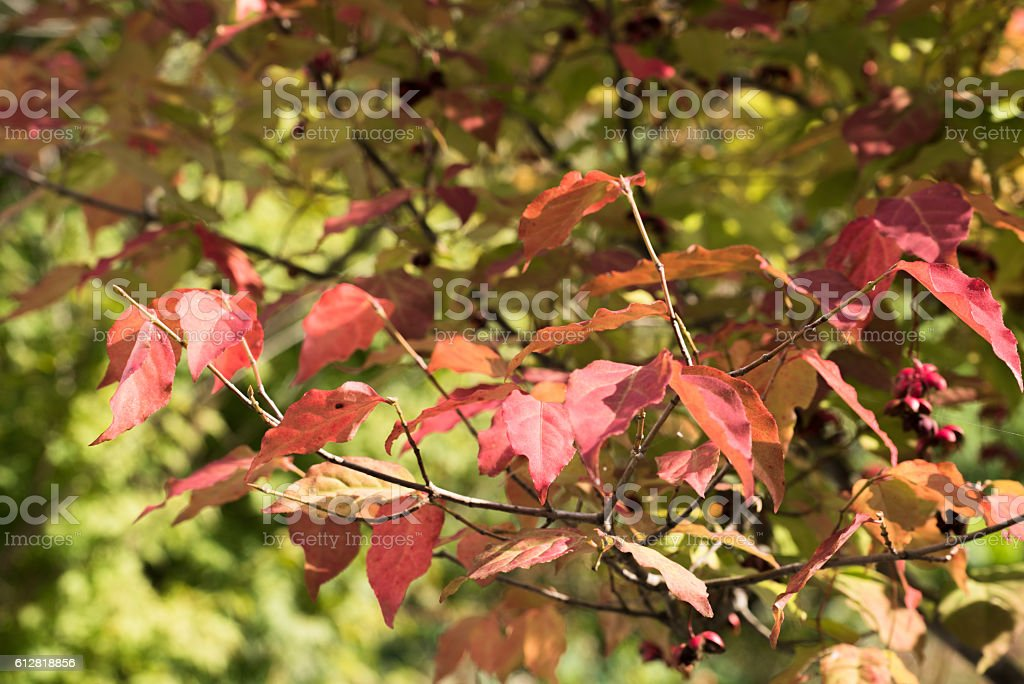 Autumn Leaves , Fruit of Spindle Tree - Euonymus oxyphyllus stock photo