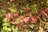Autumn Leaves , Fruit of Spindle Tree - Euonymus oxyphyllus