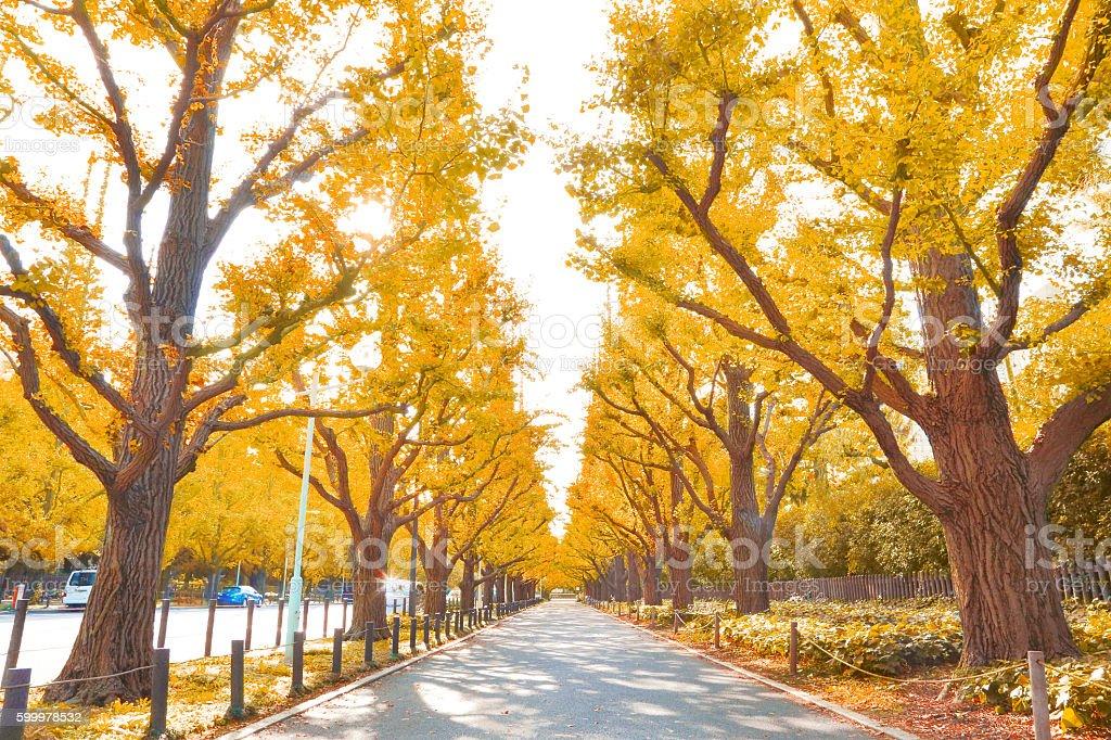 Autumn leaves ginkgo stock photo