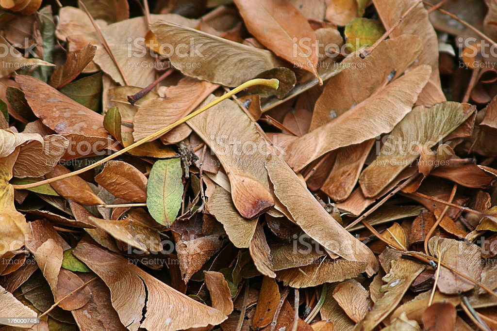 Autumn Leaves - Helicopter Seeds and Leaf Mould stock photo