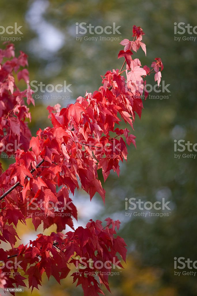 autumn leaves in fall colors royalty-free stock photo