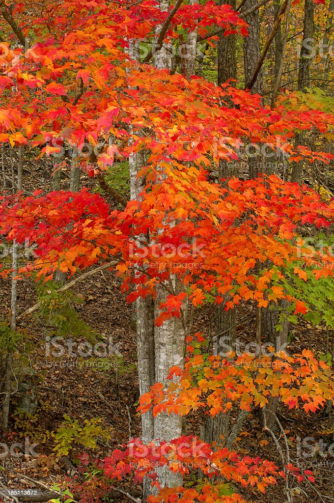 Autumn Leaves in Great Smoky Mountains National Park stock photo