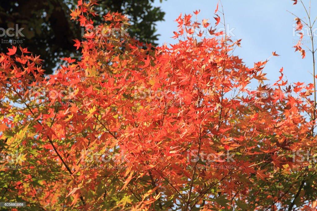 Autumn leaves in Hasedera, Kamakura stock photo