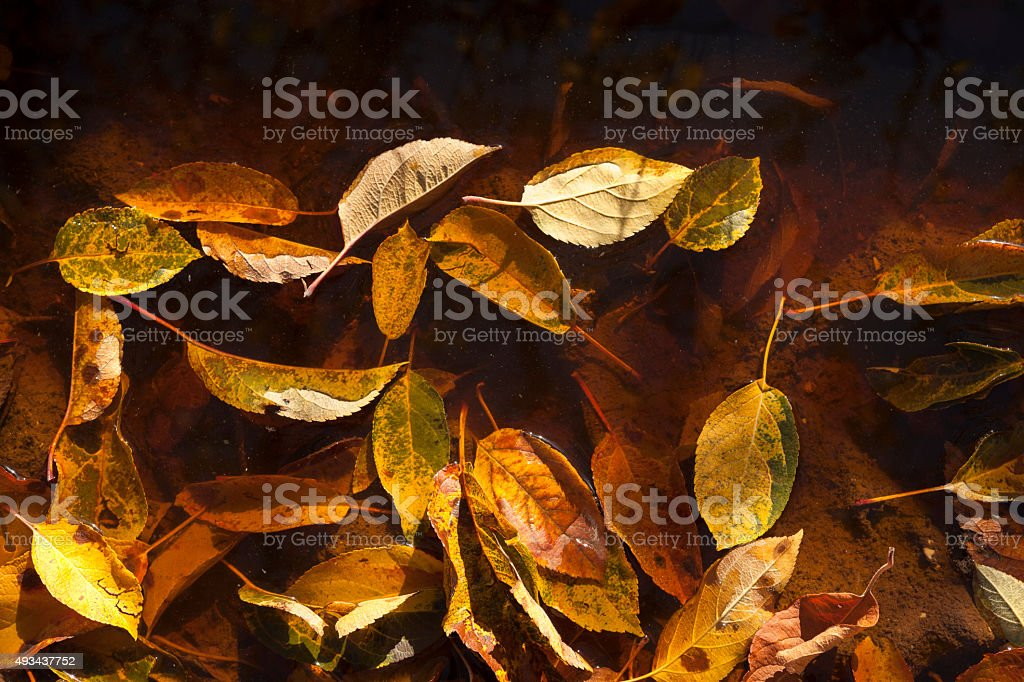Autumn leaves in lake water stock photo