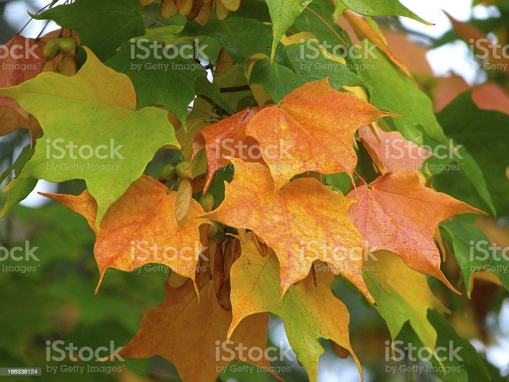 Autumn leaves in Michigan stock photo