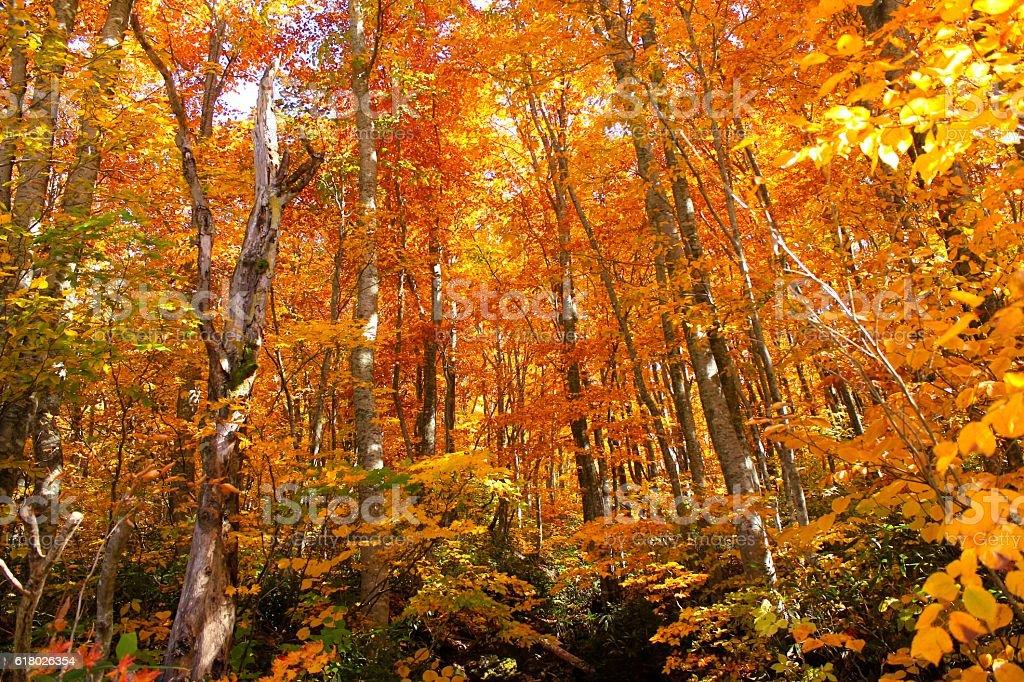 Autumn Leaves in Mount Zao Yamagata Japan stock photo