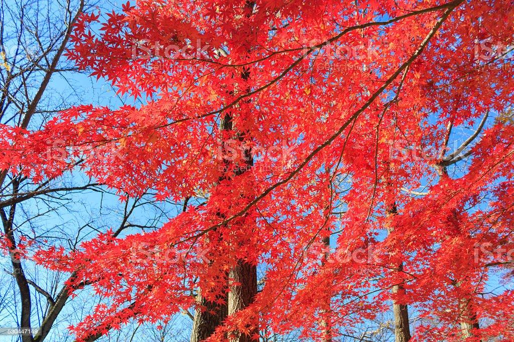 Autumn leaves in Musashino park, Tokyo stock photo