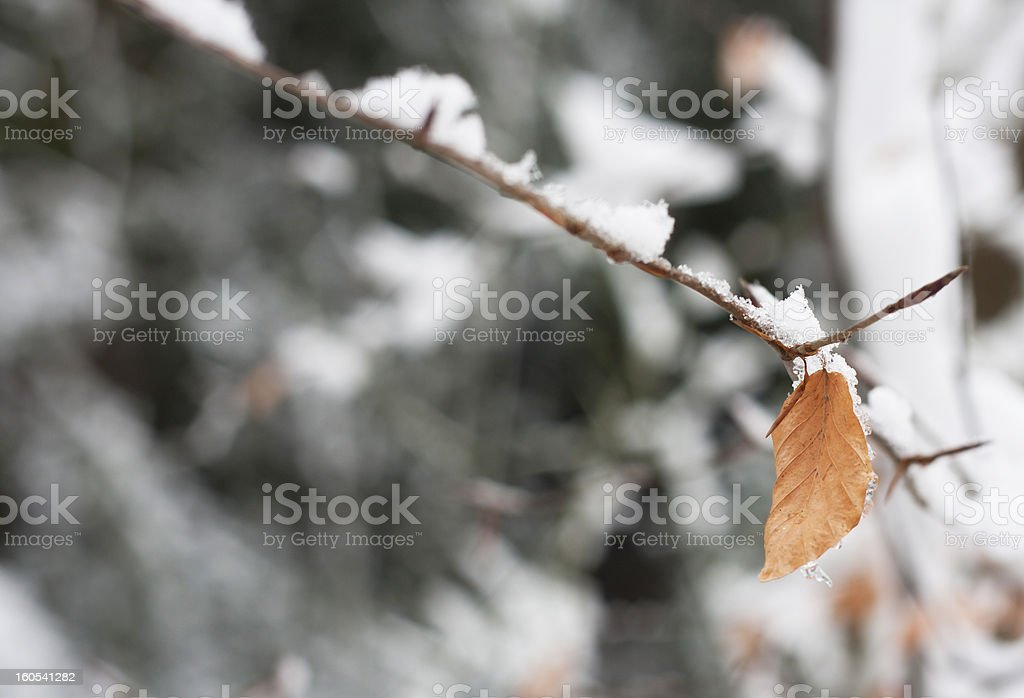 Autumn leaves in snow royalty-free stock photo