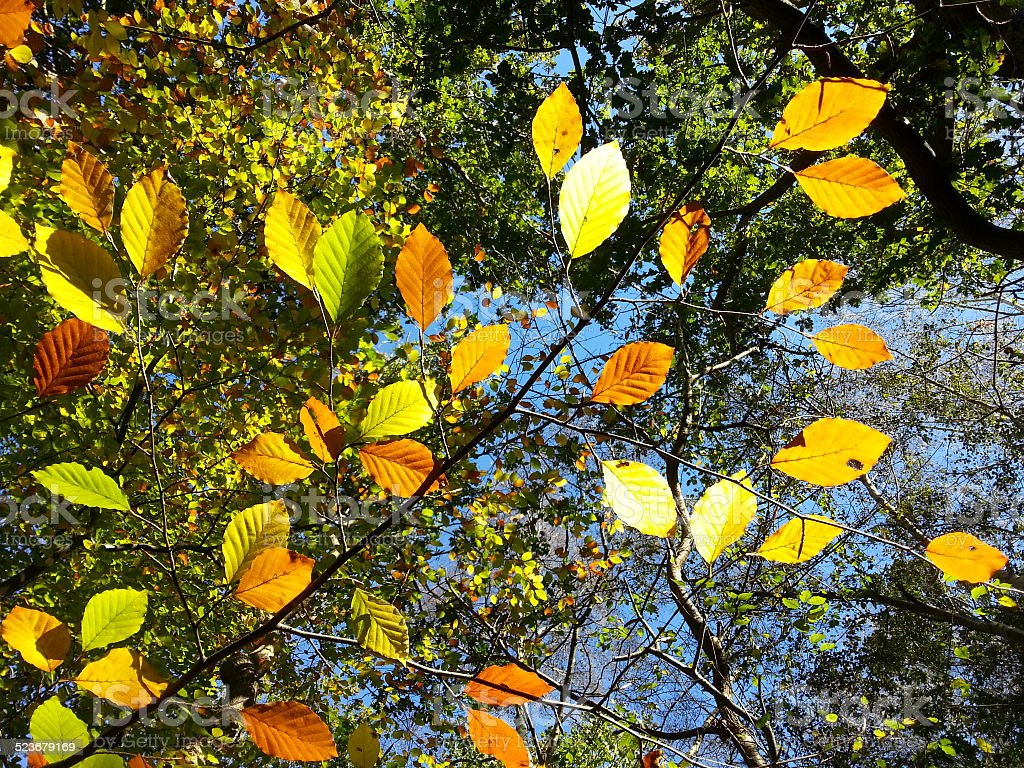 Autumn leaves in Tunstall Forest, Suffolk, UK stock photo