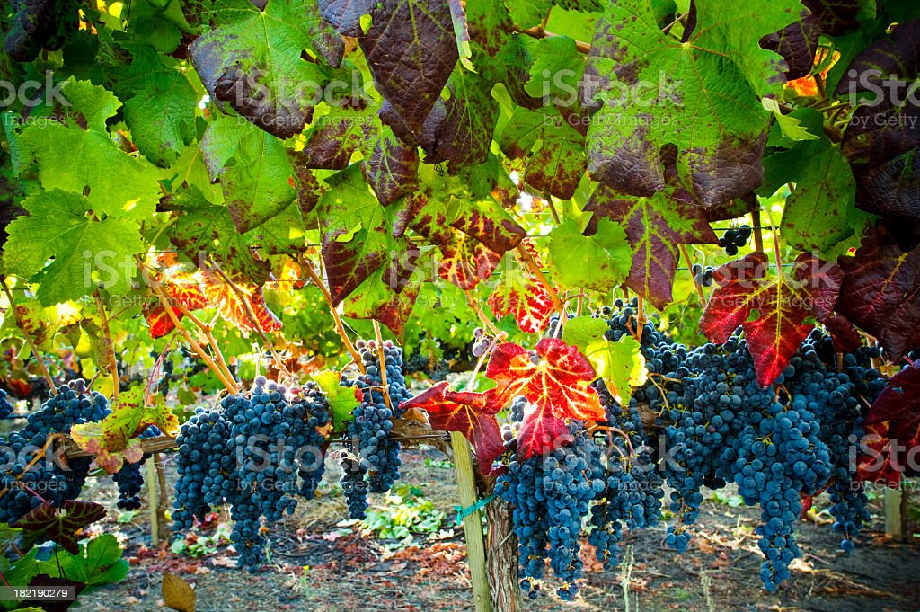 Autumn leaves in vineyard  with grapes background stock photo