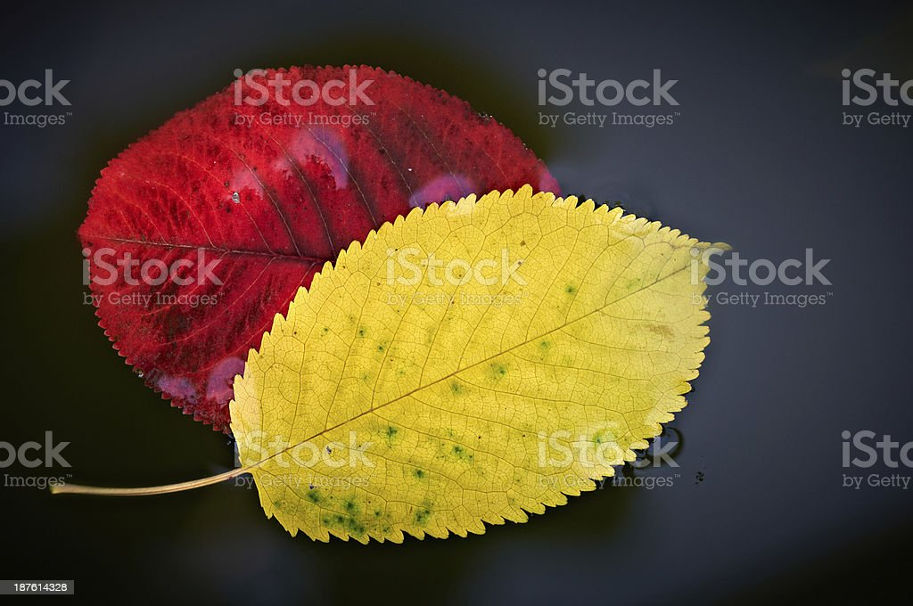 Autumn  leaves in water royalty-free stock photo