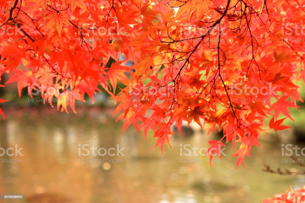 Autumn Leaves in Yamagata Japan stock photo