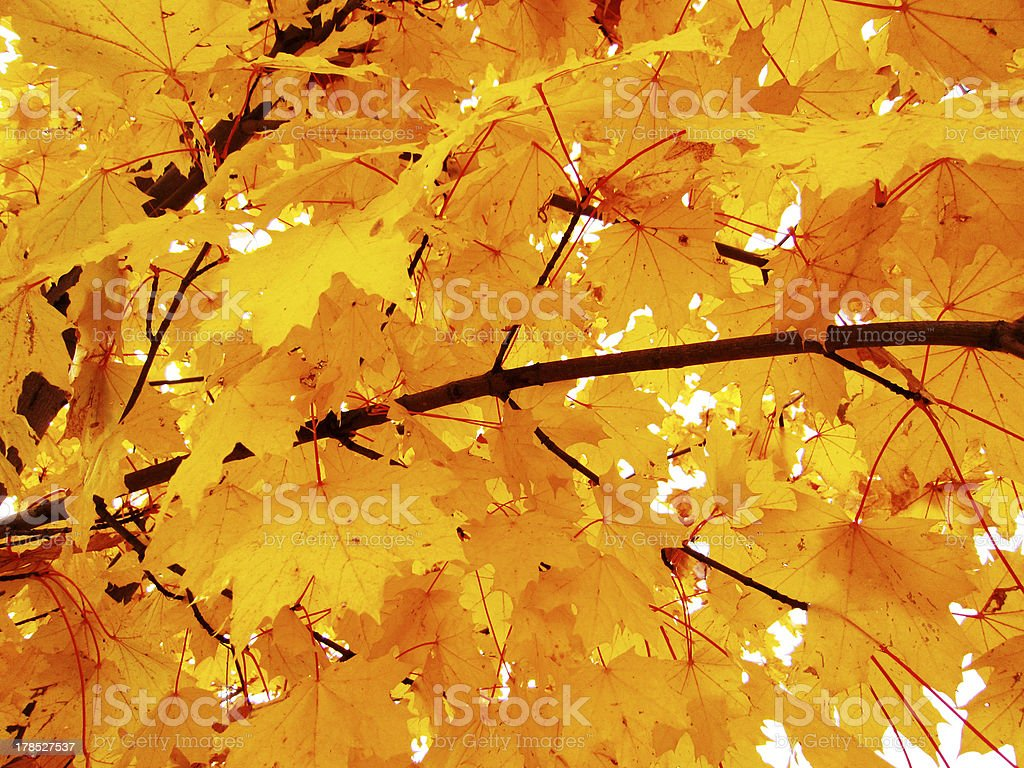 autumn leaves maple, in wonderful color royalty-free stock photo