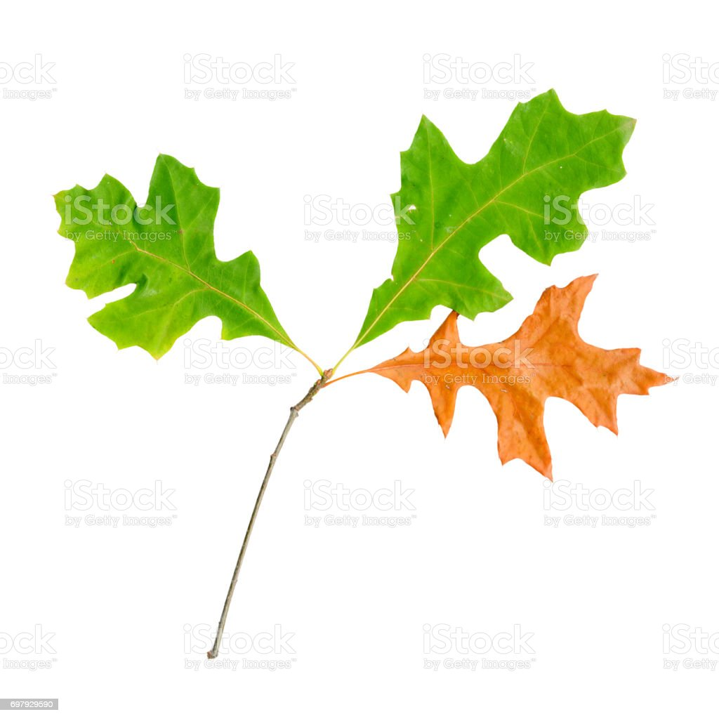 Autumn leaves of a red oak, top surface stock photo