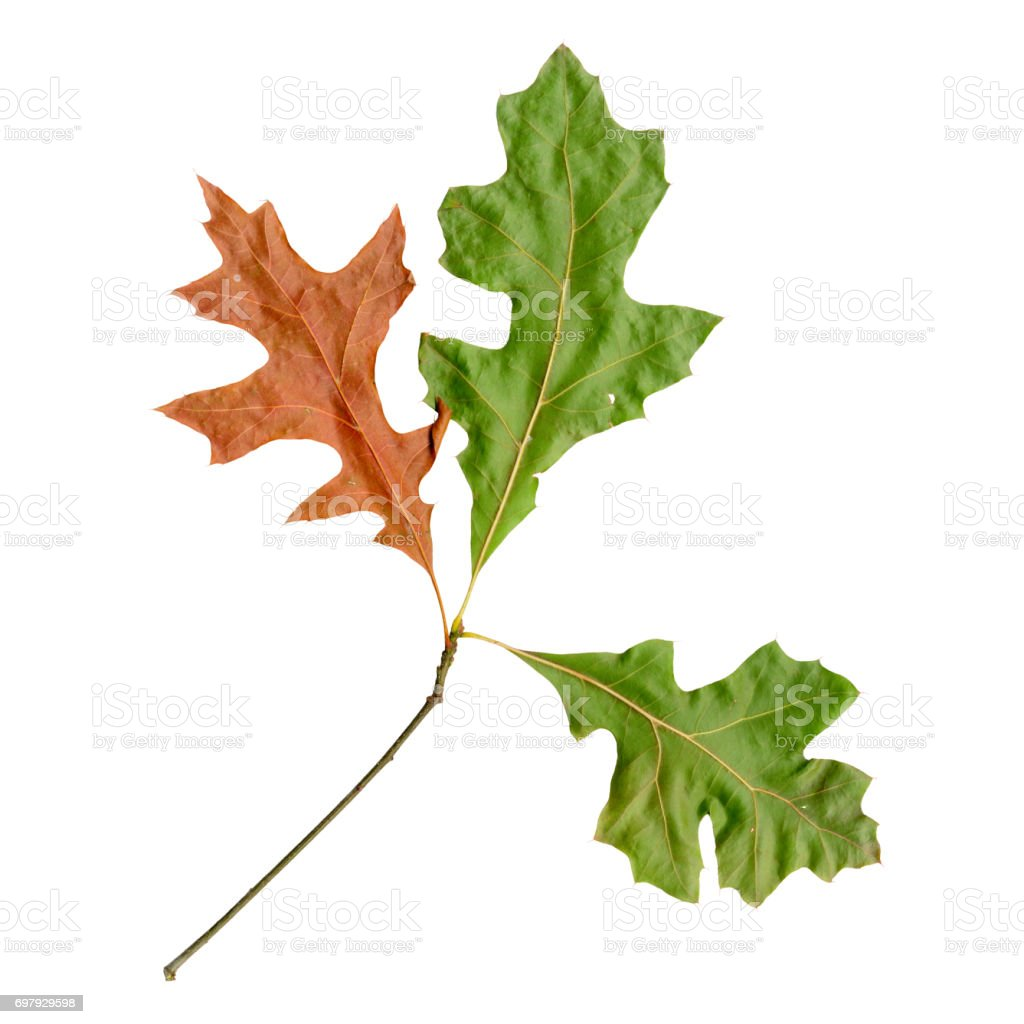 Autumn leaves of a red oak, under-surface stock photo
