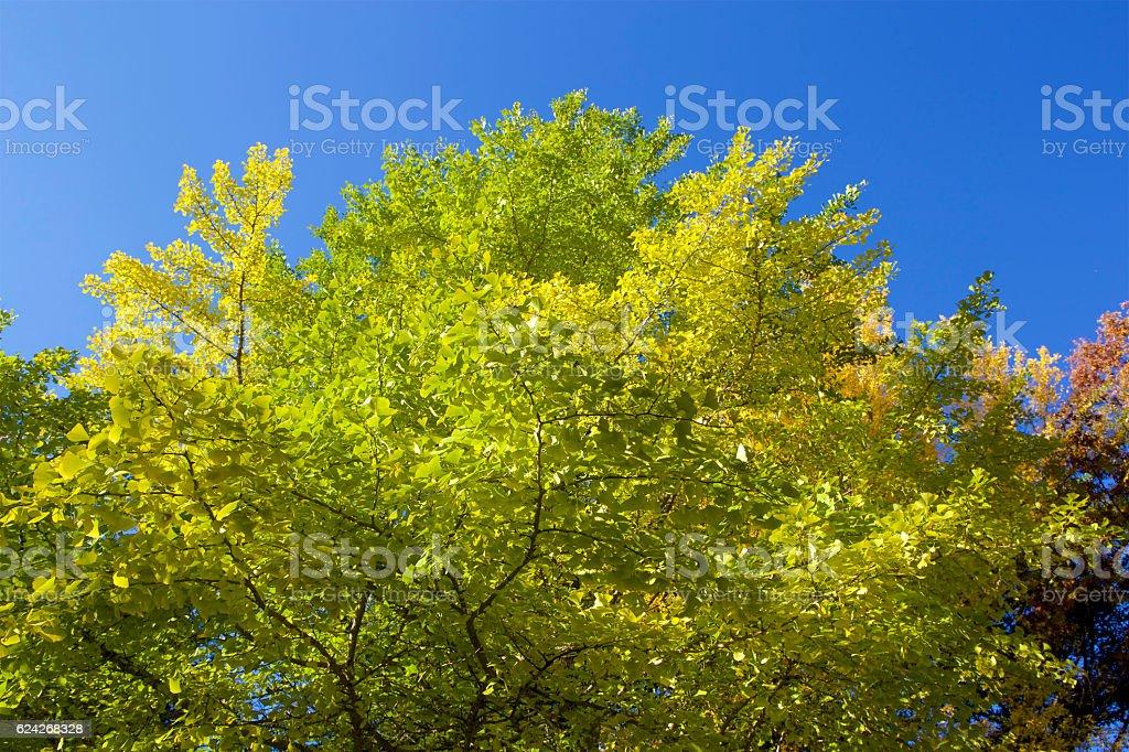 Autumn leaves of gingko stock photo