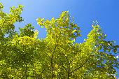 Autumn leaves of gingko