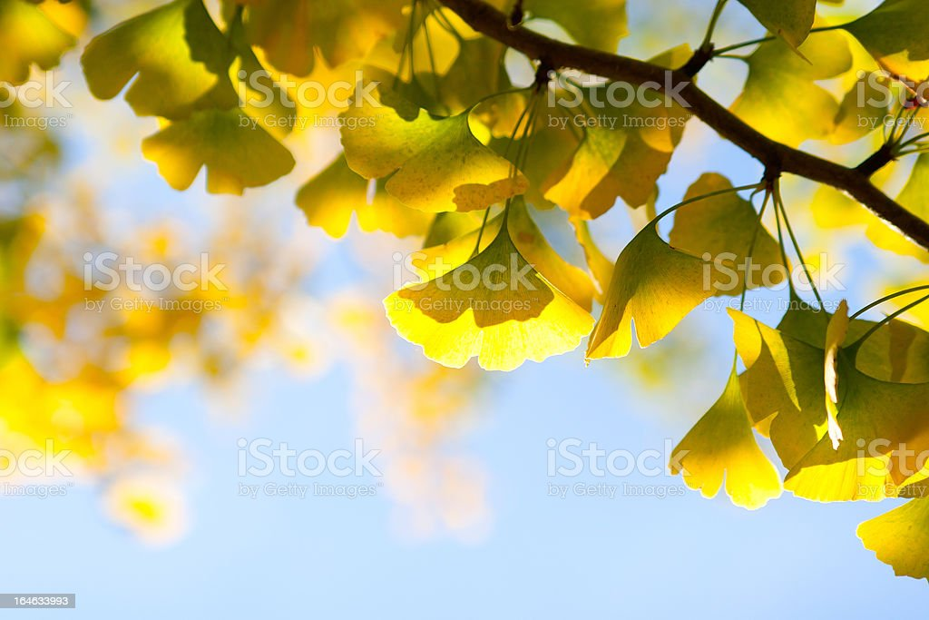 Autumn leaves of ginkgo against sky royalty-free stock photo