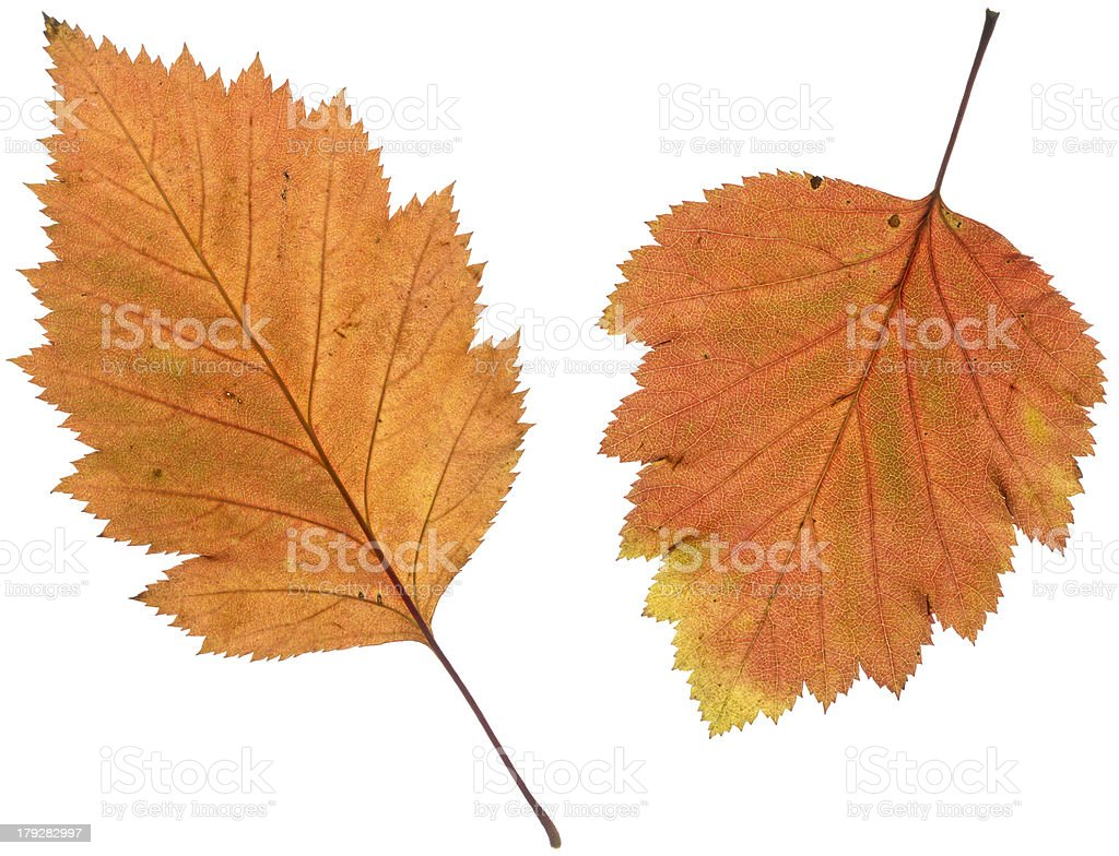 Autumn leaves of Hawthorn on a lightbox royalty-free stock photo
