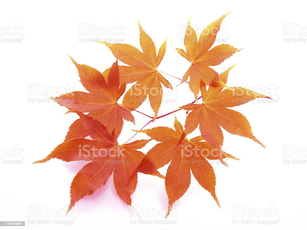 Autumn  leaves of japanese maple royalty-free stock photo