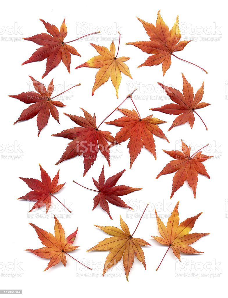Autumn leaves of japanese maple stock photo