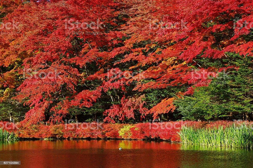 Autumn leaves of kumoba pond stock photo