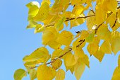 Autumn leaves of poplar trees with Blue sky