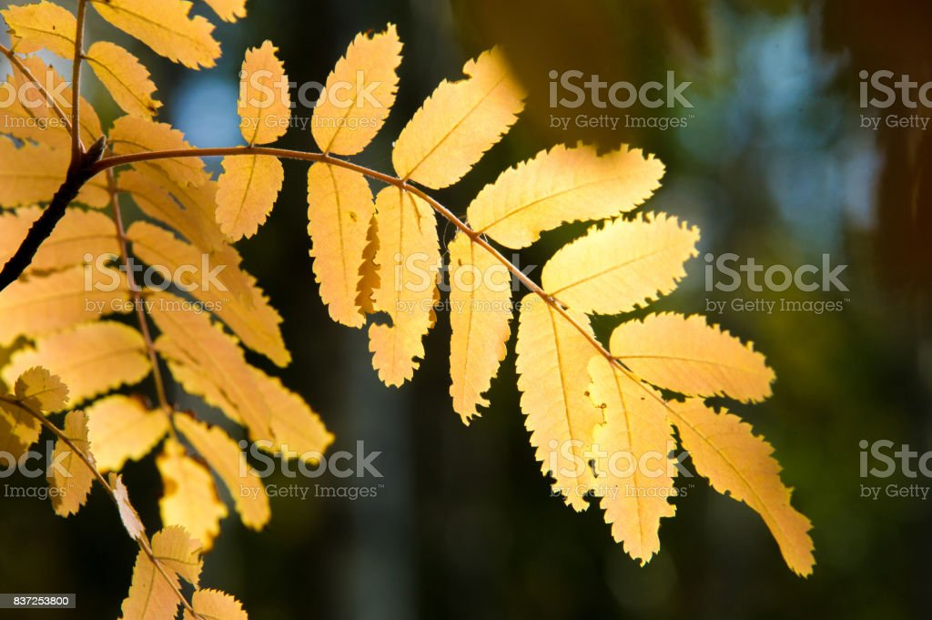 Autumn leaves of rowan tree. a mountain ash, in particular the European Sorbus aucuparia. stock photo