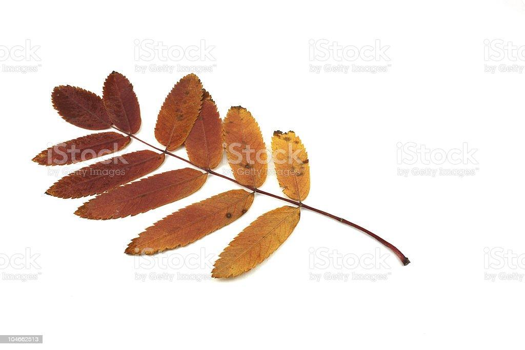 Autumn leaves of rowan tree stock photo