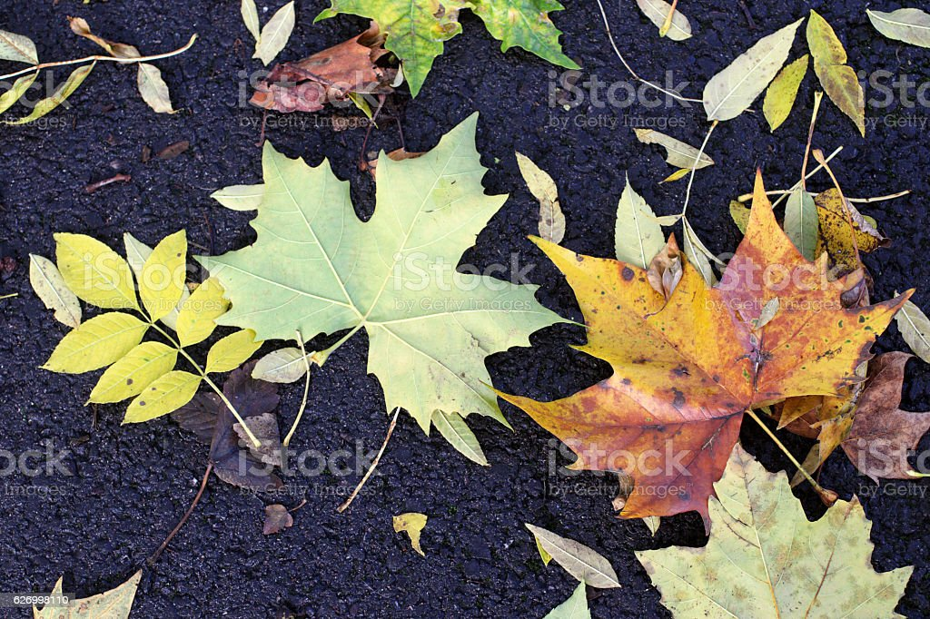 Autumn leaves of sycamore and ash on tarmacadam close up stock photo