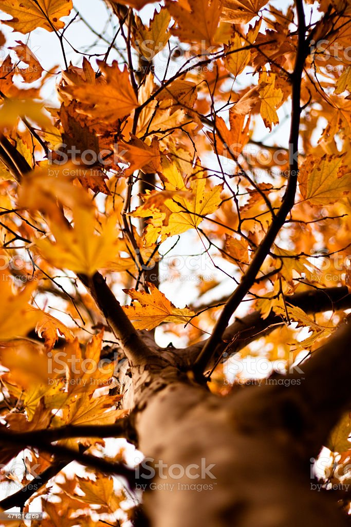 Autumn leaves of the maple tree stock photo
