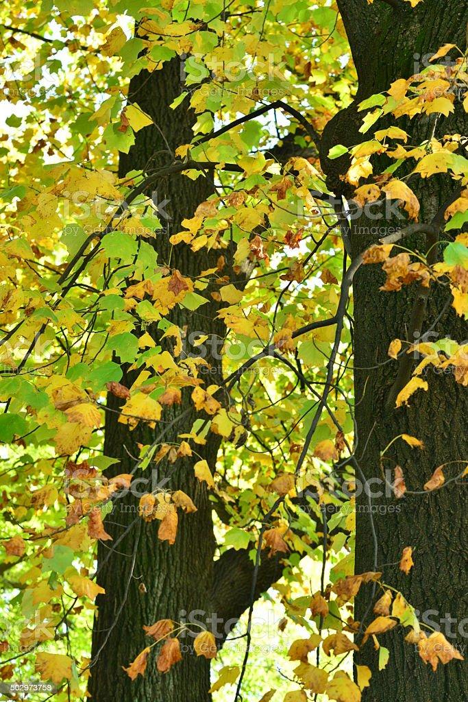 Autumn Leaves of Tulip Tree stock photo