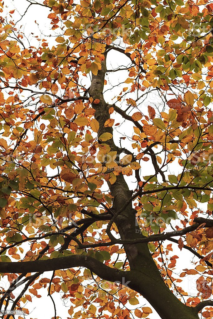 Autumn leaves on a tree against white background. royalty-free stock photo