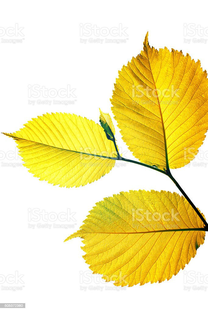 autumn leaves on the branch stock photo