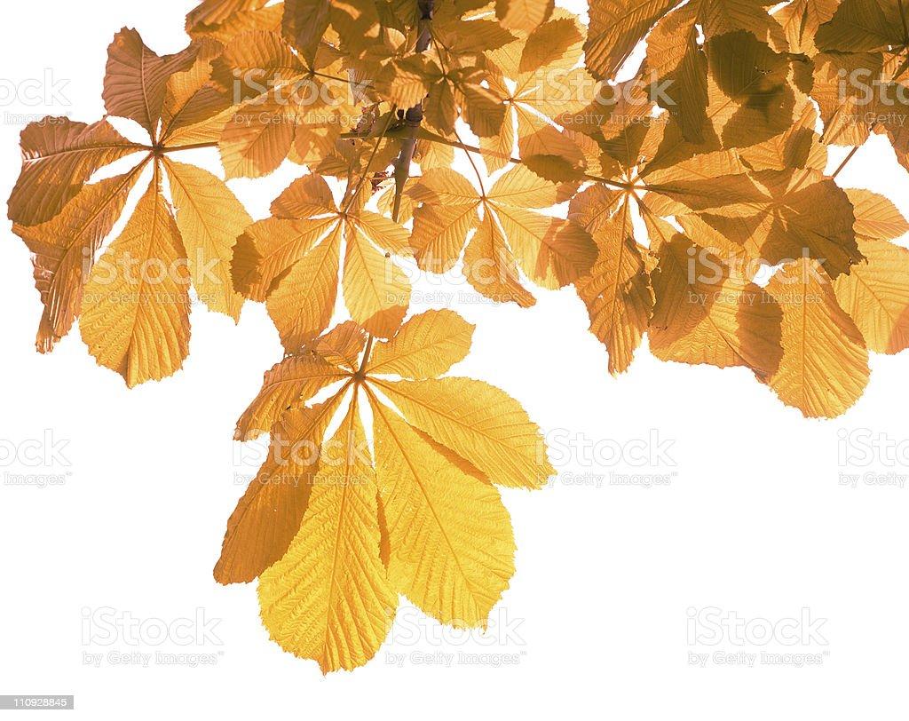 Autumn leaves on white royalty-free stock photo