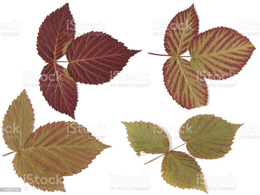 Folhas de Outono sobre fundo branco foto de stock royalty-free