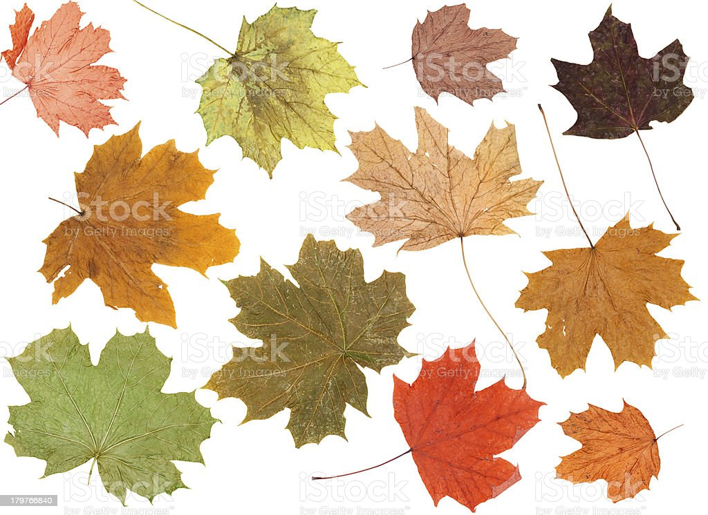 Autumn Leaves over white royalty-free stock photo