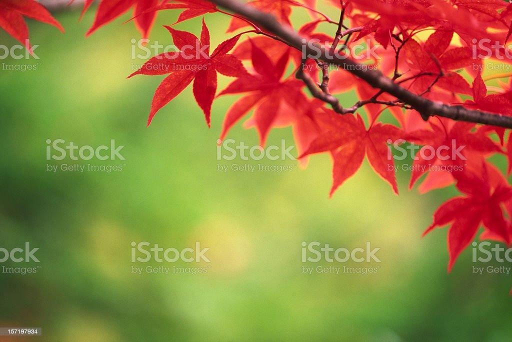 Autumn leaves royalty-free stock photo