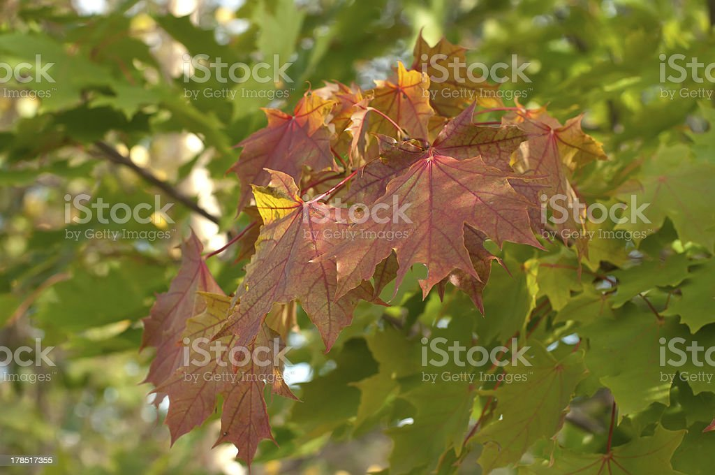 Autumn leaves. royalty-free stock photo