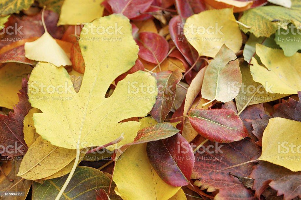 Autumn leaves (xxxl size) royalty-free stock photo