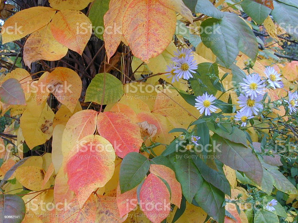 Autumn Leaves with daisies royalty-free stock photo