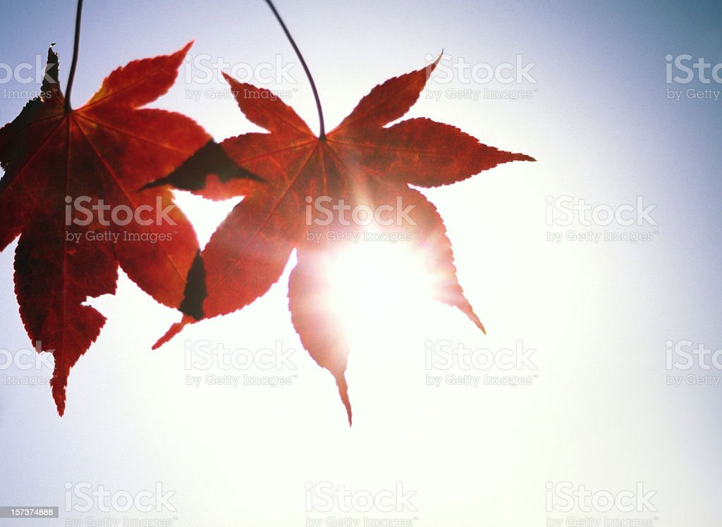 Autumn leaves with sun behind royalty-free stock photo