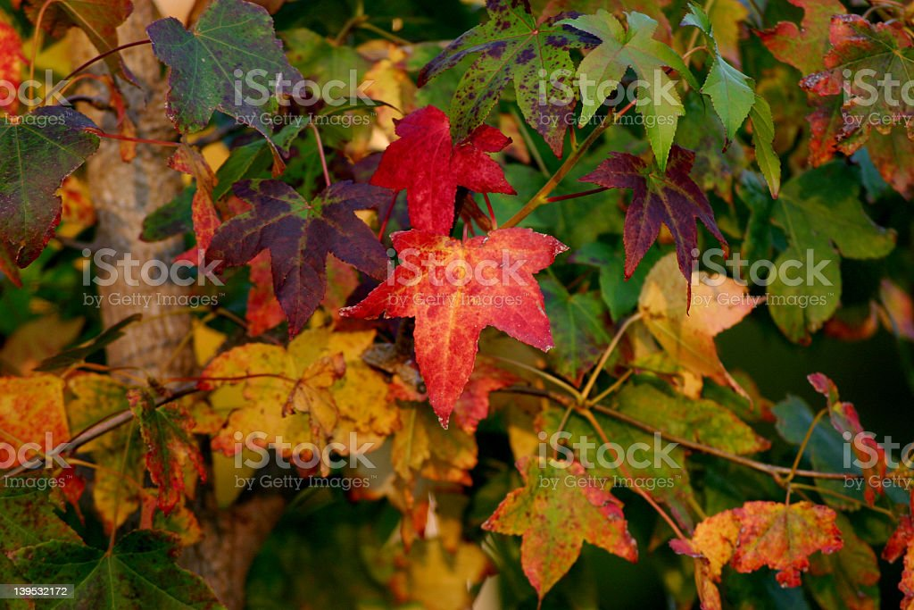 autumn leaving royalty-free stock photo