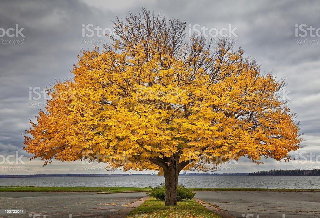 Autumn Linden royalty-free stock photo