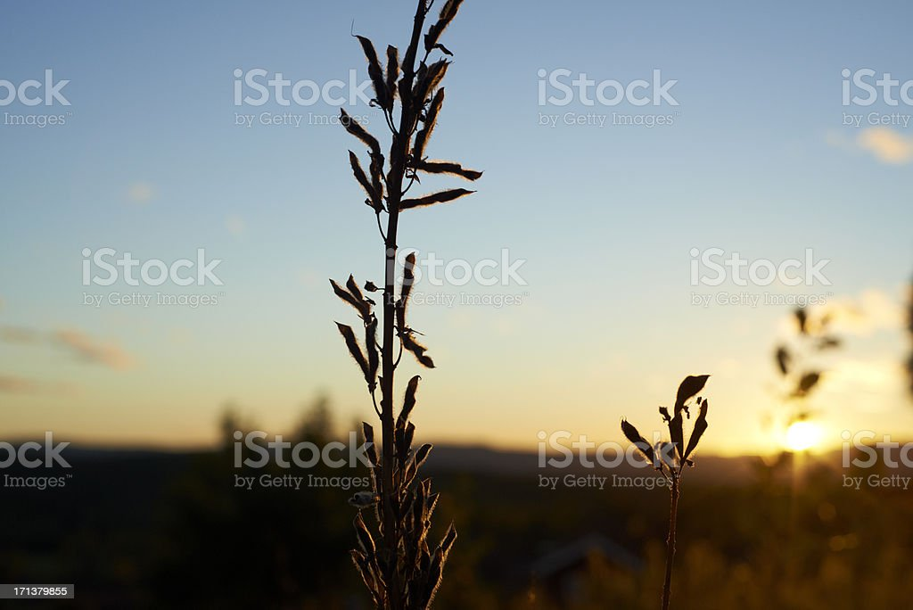 Autumn Lupin in sunset royalty-free stock photo