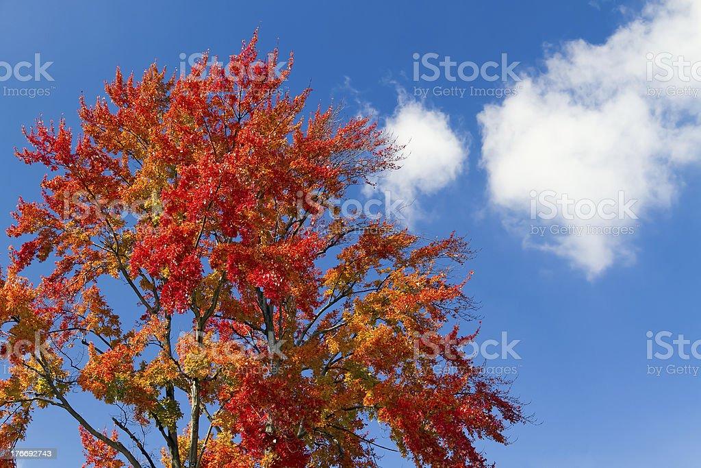 Autunno acero e cielo blu foto stock royalty-free