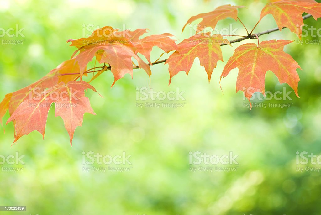 Autumn Maple foliage - VI royalty-free stock photo
