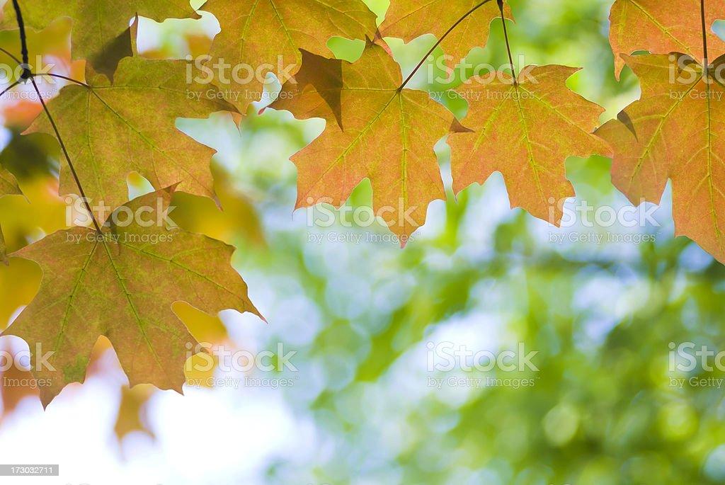 Autumn Maple foliage - VII royalty-free stock photo