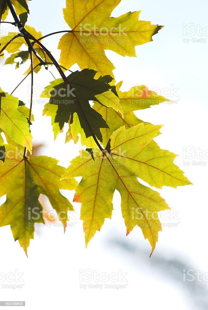 Autumn Maple foliage - XIV royalty-free stock photo